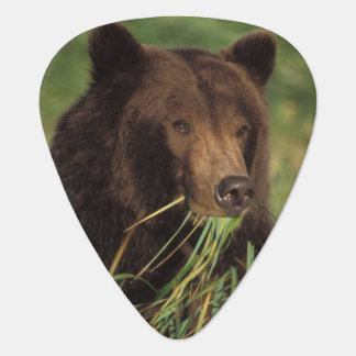 brown bear, Ursus arctos, grizzly bear, Ursus 7 Plectrum