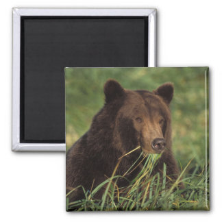 brown bear, Ursus arctos, grizzly bear, Ursus 7 Square Magnet