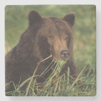 brown bear, Ursus arctos, grizzly bear, Ursus 7 Stone Coaster