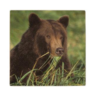 brown bear, Ursus arctos, grizzly bear, Ursus 7 Wood Coaster