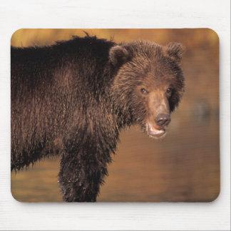 brown bear, Ursus arctos, grizzly bear, Ursus 8 Mouse Pad
