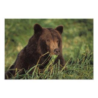 brown bear, Ursus arctos, grizzly bear, Ursus 8 Photo