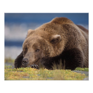 brown bear, Ursus arctos, grizzly bear, Ursus 8 Poster