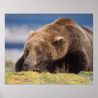 brown bear, Ursus arctos, grizzly bear, Ursus 8 Poster