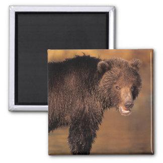 brown bear, Ursus arctos, grizzly bear, Ursus 8 Square Magnet