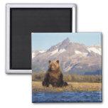 brown bear, Ursus arctos, grizzly bear, Ursus Square Magnet