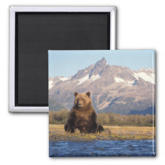brown bear, Ursus arctos, grizzly bear, Ursus Magnet