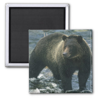 Brown Bear, Ursus arctos), hunting salmon, Magnet