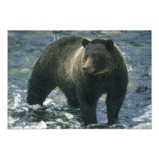 Brown Bear, Ursus arctos), hunting salmon, Photo Print