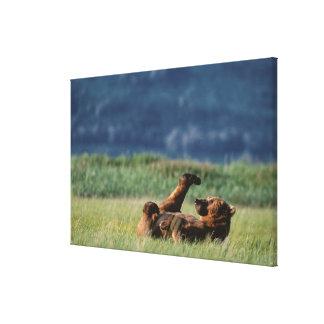 Brown Bears at play, Ursus arctos, Alaska Canvas Print