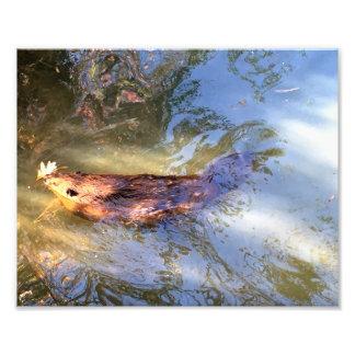 Brown Beaver in water Photo Art