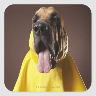 Brown bloodhound dog wearing yellow raincoat square sticker