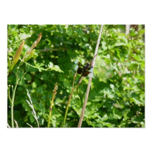 Brown & Blue Dragonfly on Reed Poster