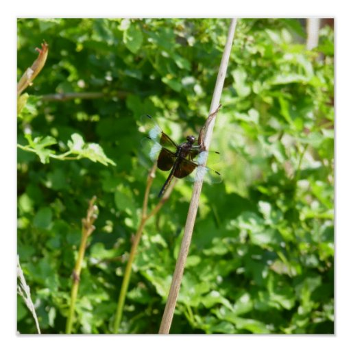 Brown & Blue Dragonfly on Reed Posters
