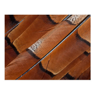 Brown Copper Pheasant Feathers Postcard