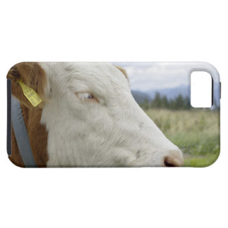 Brown cow with a sign in it?s ear on a feedlot, iPhone 5 cover