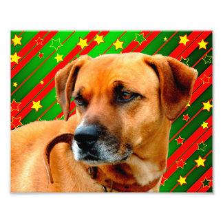 Brown Dog stars Red Yellow Green Christmas Photo Print