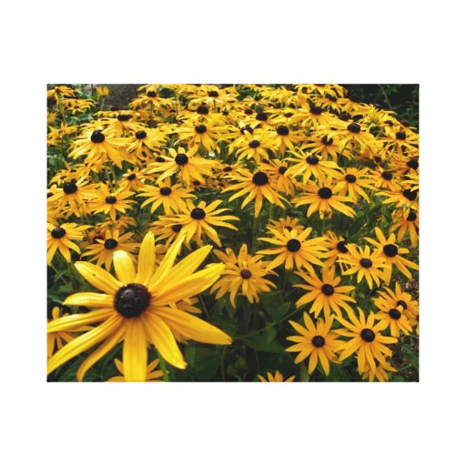 Brown Eyed Susan Stretched Canvas Print