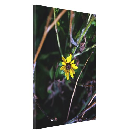Brown Eyed Susan Stretched Canvas Prints