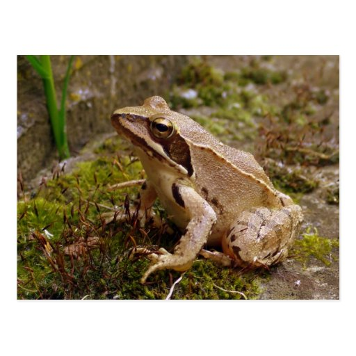 Brown frog close up postcard