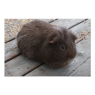 Brown Guinea Pig Poster