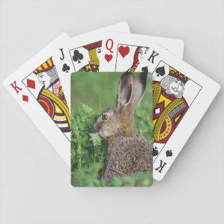 Brown Hare, Lepus europaeus, young eating, Playing Cards