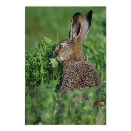 Brown Hare, Lepus europaeus, young eating, Poster