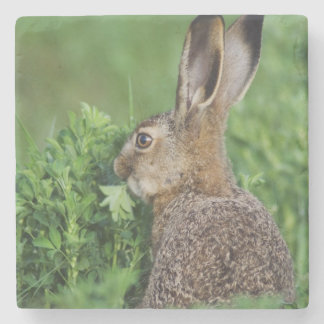 Brown Hare, Lepus europaeus, young eating, Stone Coaster