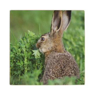 Brown Hare, Lepus europaeus, young eating, Wood Coaster