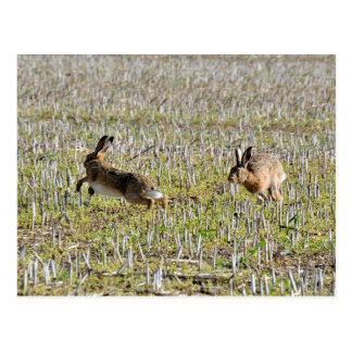 Brown hares chasing postcard