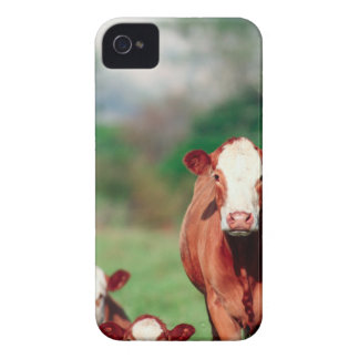 Brown hereford cattle iPhone 4 cases