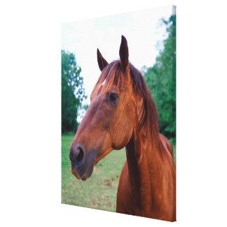 Brown horse, close-up canvas print