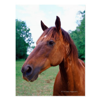 Brown horse, close-up post card