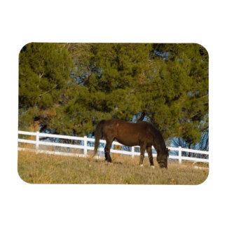 Brown Horse Grazing Rectangle Magnet