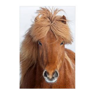 Brown Icelandic Horse Portrait Acrylic Wall Art