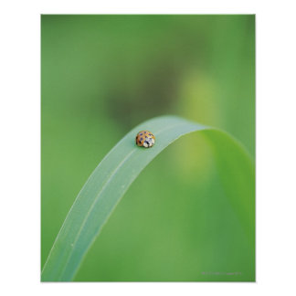 Brown ladybug poster