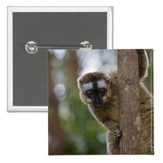 Brown lemur (Eulemur fulvus) in the forest 3 15 Cm Square Badge