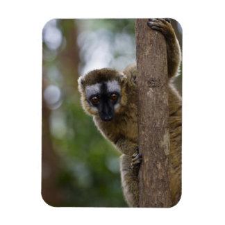 Brown lemur (Eulemur fulvus) in the forest 3 Magnet