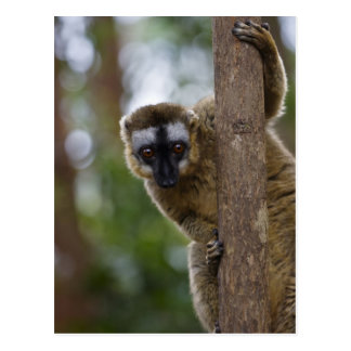 Brown lemur (Eulemur fulvus) in the forest 3 Postcard