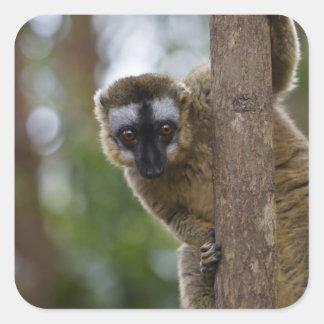 Brown lemur (Eulemur fulvus) in the forest 3 Square Sticker