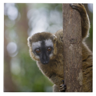Brown lemur (Eulemur fulvus) in the forest 3 Tile