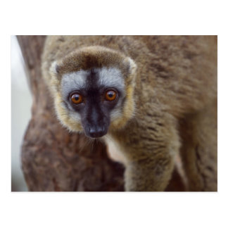 Brown lemur (Eulemur fulvus) in the forest Postcard