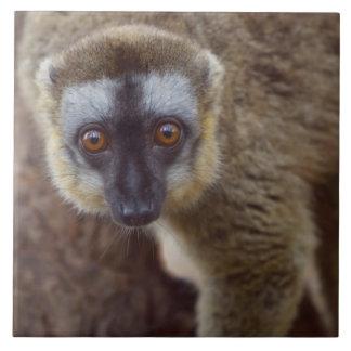 Brown lemur (Eulemur fulvus) in the forest Tile
