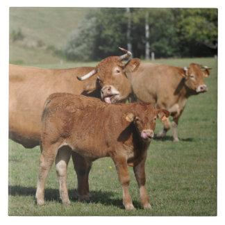 Brown Limousin cow and calf Tile