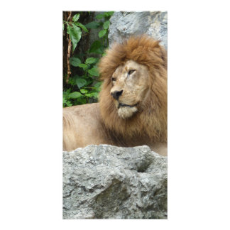 brown Male Lion with large mane Lays on Rock ledge Photo Greeting Card