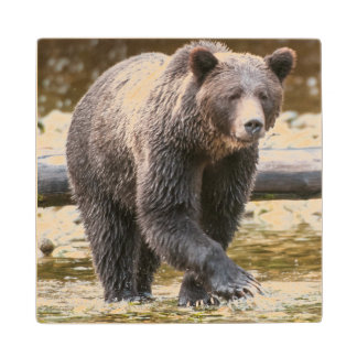 Brown Or Grizzly Bear (Ursus Arctos) Fishing Wood Coaster