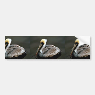 Brown pelican bumper sticker