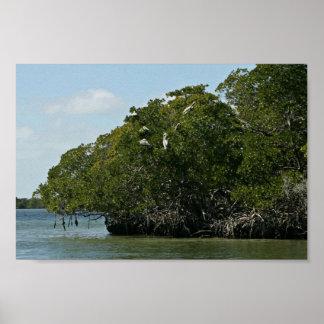 Brown pelicans in mangrove trees print