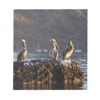Brown pelicans on rock in Puerto Escondido near Notepad