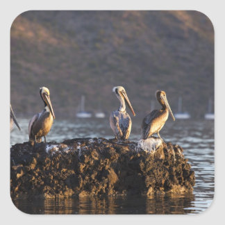 Brown pelicans on rock in Puerto Escondido near Square Sticker
